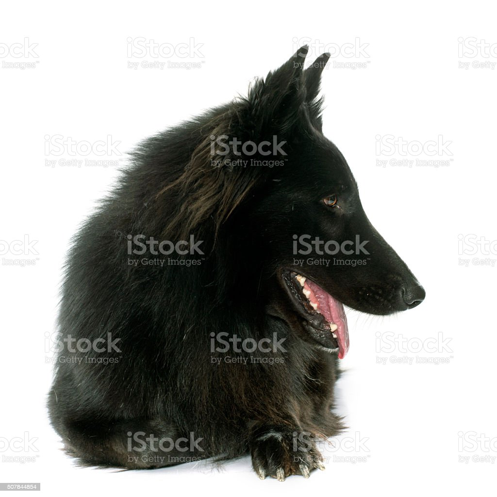 belgian shepherd Groenendael stock photo