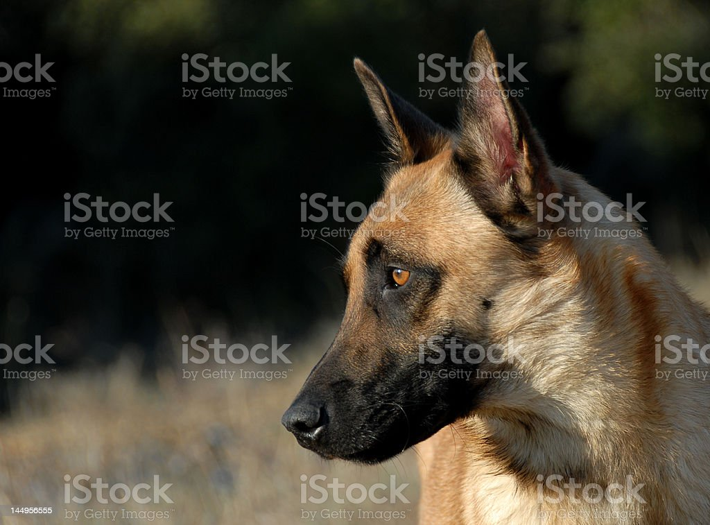belgian shepherd stock photo