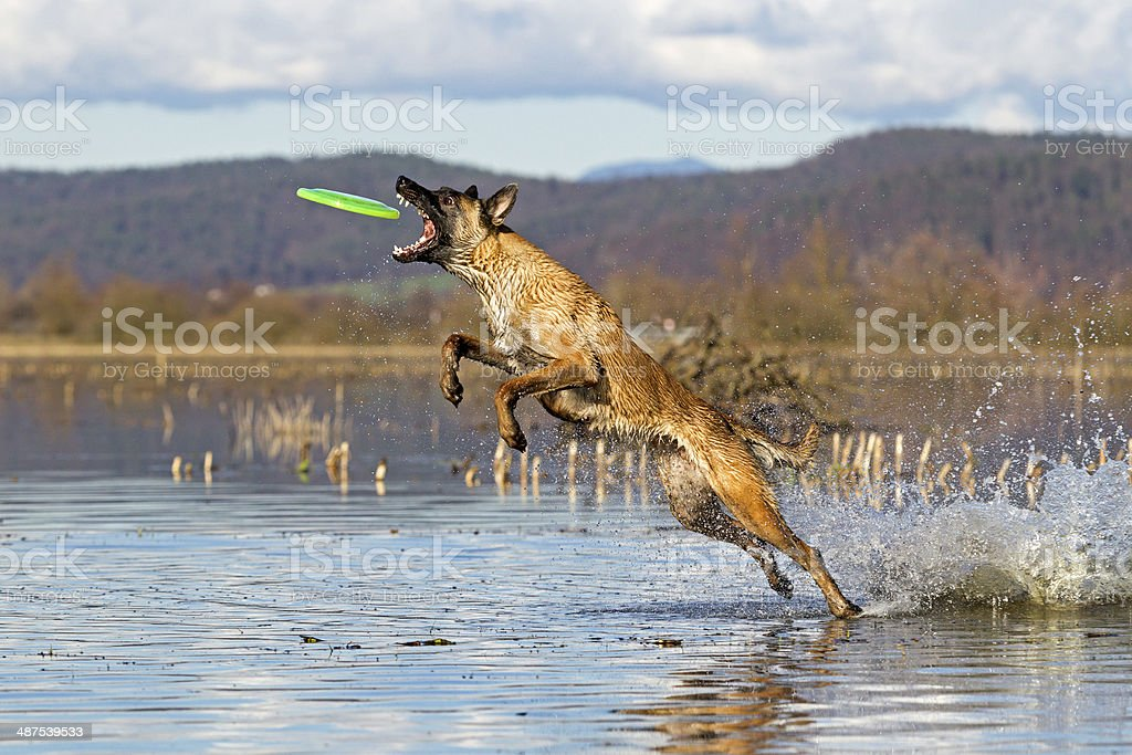Belgian shepherd playing stock photo