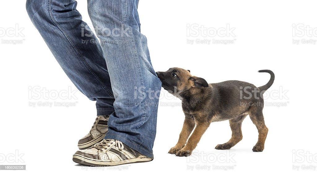 Belgian shepherd puppy biting and pulling leg against white background stock photo