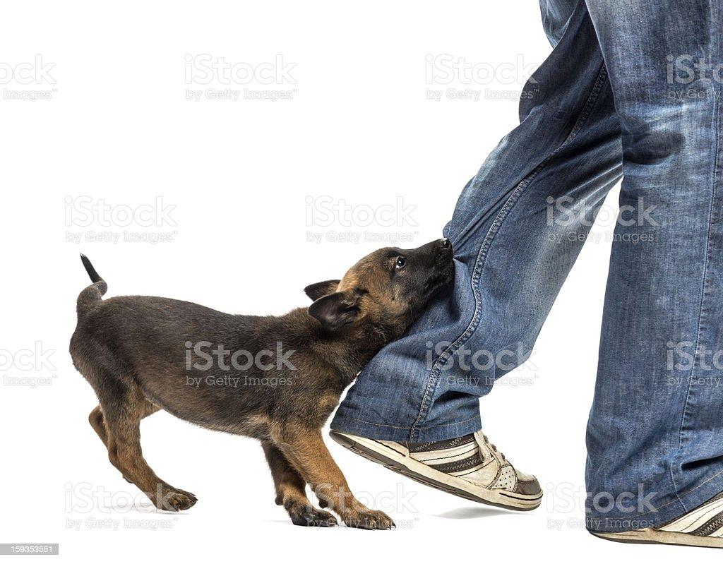 Belgian shepherd puppy biting leg against white background stock photo