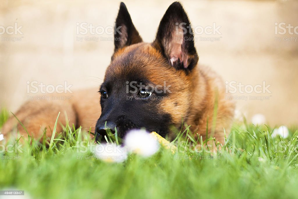 Belgian shepherd puppy stock photo