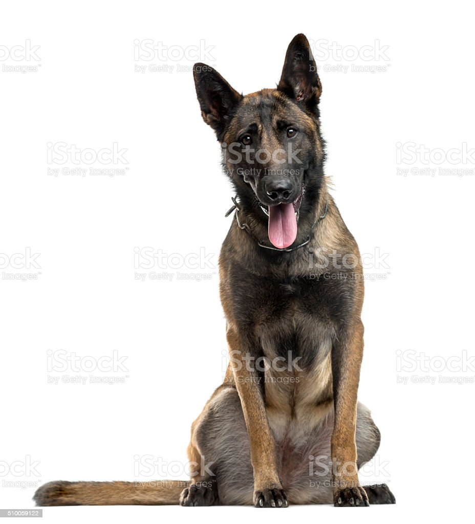Belgian Shepherd sitting in front of a white background stock photo