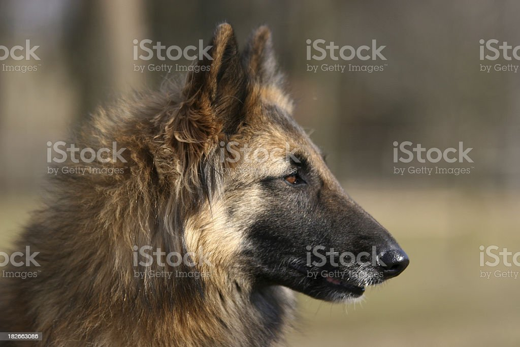 Belgian shepherd - Tervueren stock photo