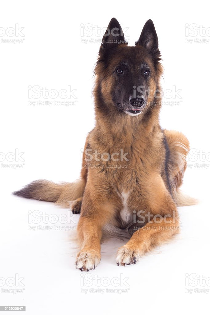 Belgian Shepherd Tervuren bitch, laying down, white studio background stock photo