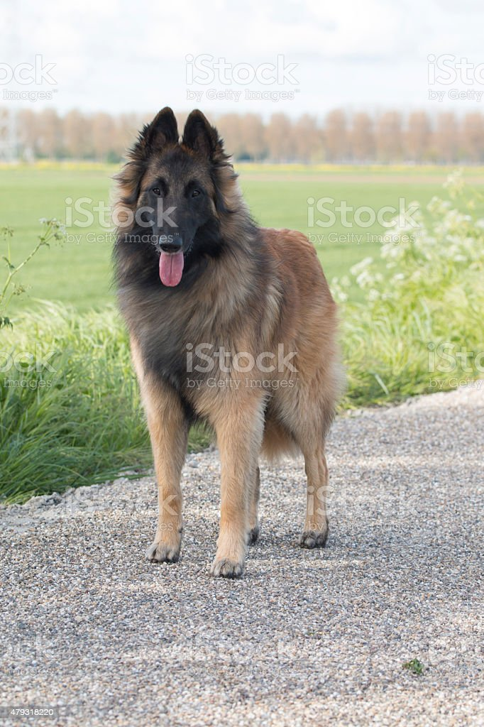 Belgian Shepherd Tervuren, dog, standing stock photo