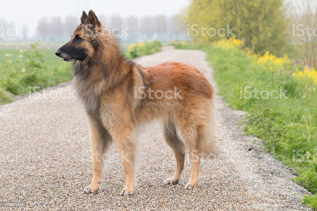 Belgian Shepherd Tervuren dog, standing stock photo
