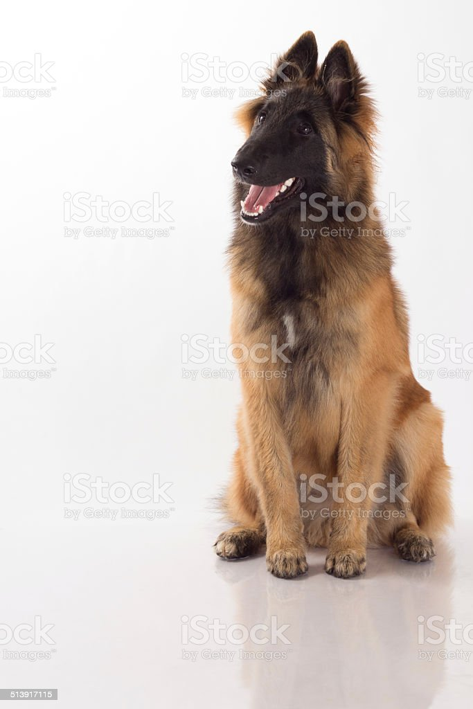 Belgian Shepherd Tervuren puppy, six months old, white studio background stock photo