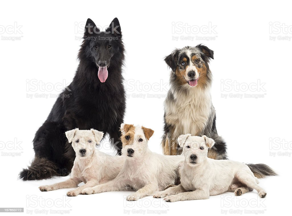 Belgian shepherd-Groenendael, Australian Shepherd and Jack Russell terrier royalty-free stock photo