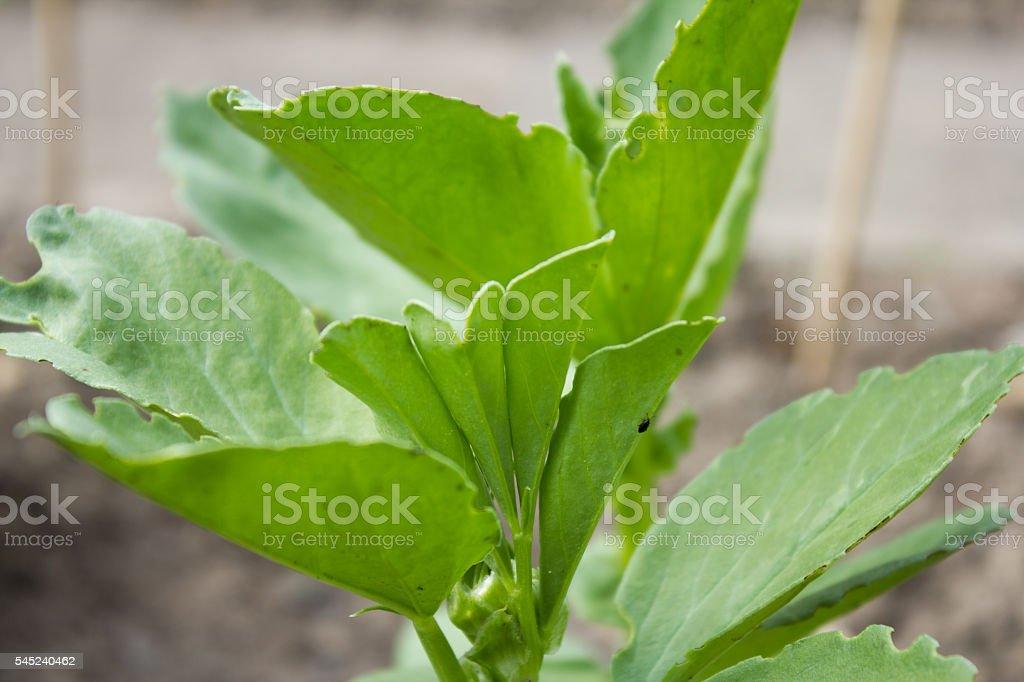 Bell bean (Vicia faba) stock photo
