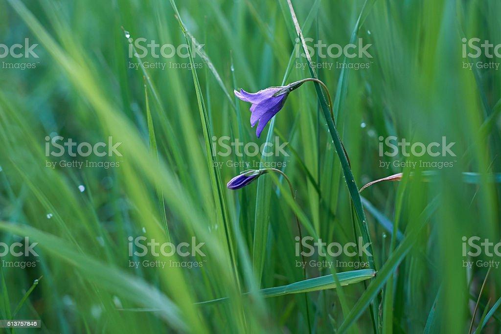 bell Flower in grass stock photo