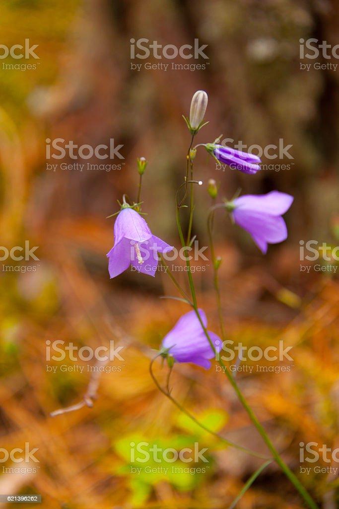 Bell flower or Campanula Closeup stock photo