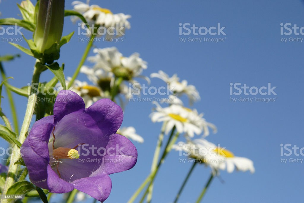 Bell Flower Patch stock photo