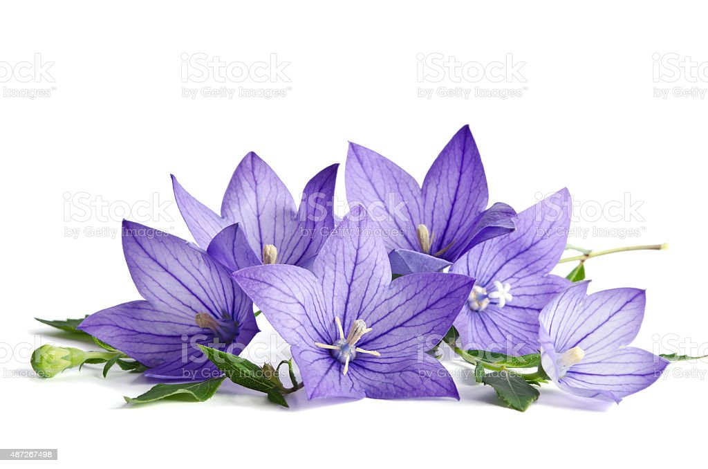 Bell flowers isolated on white  background stock photo