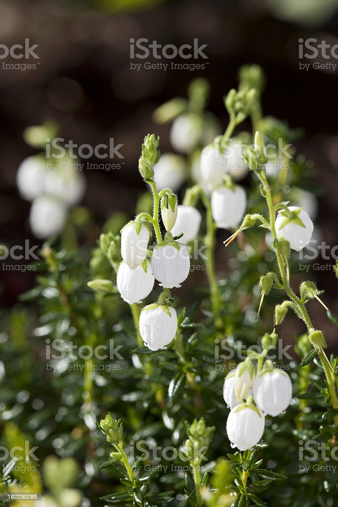 Bell Heather (Daboecia x scotica) stock photo