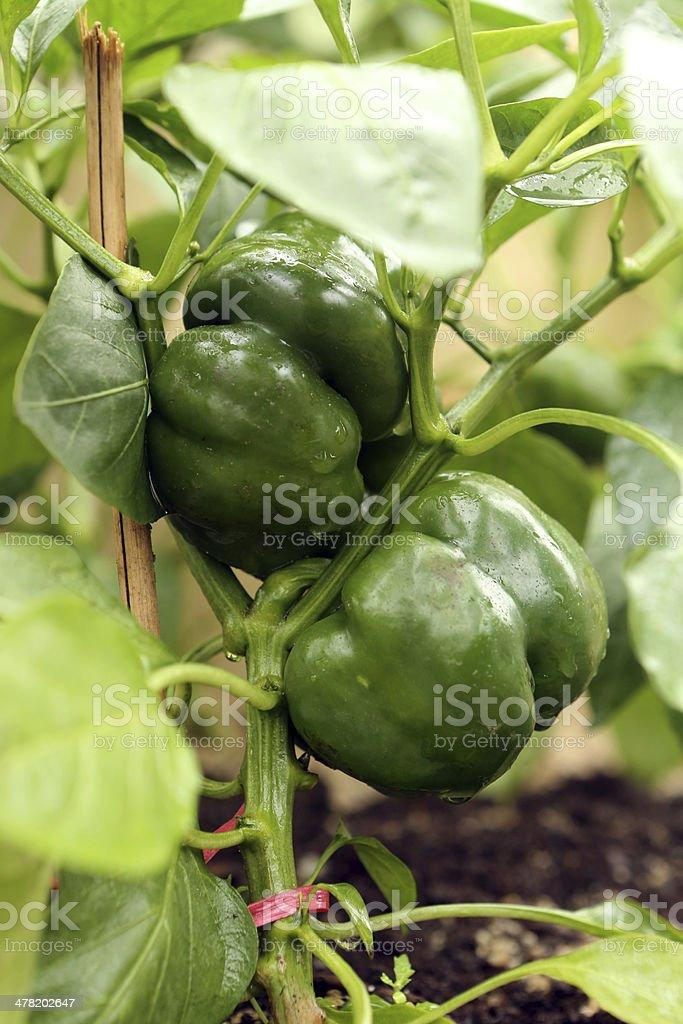 Bell Pepper - Capsicum Annuum var Grossum stock photo