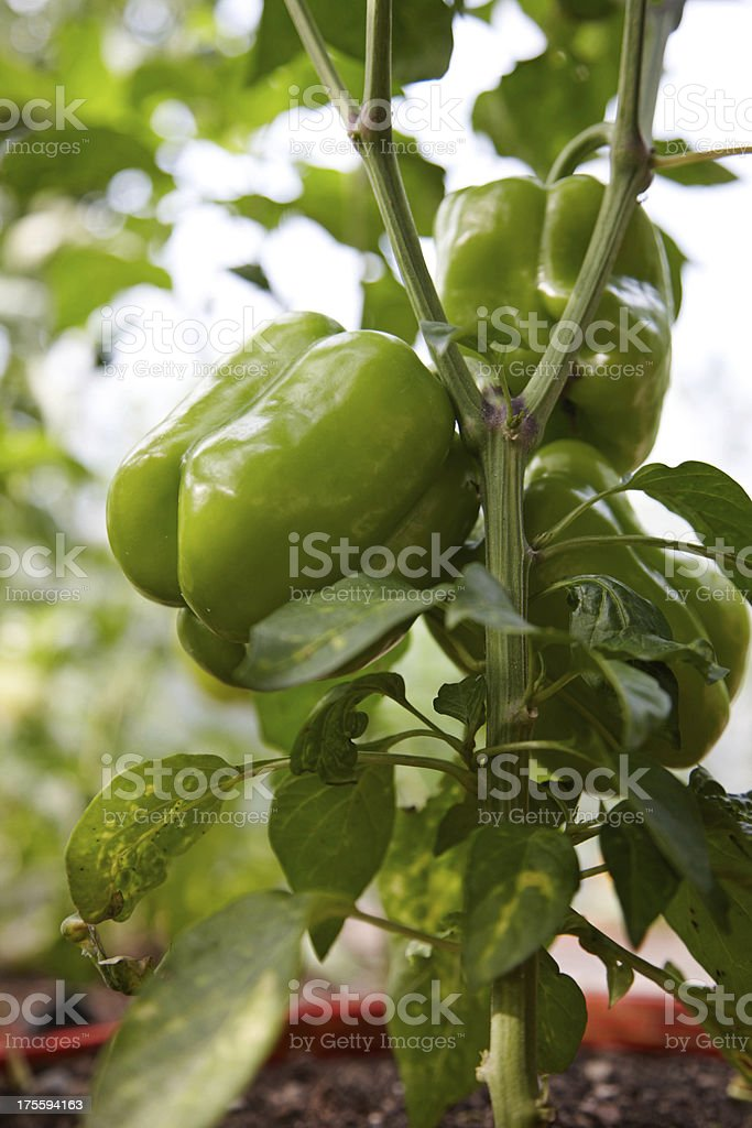 Bell pepper plant in greenhouse royalty-free stock photo