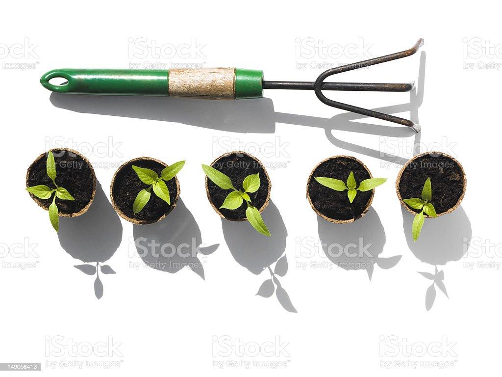 Bell Pepper seedlings with rake royalty-free stock photo