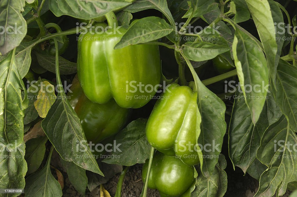 Bell Peppers Growing in Field stock photo