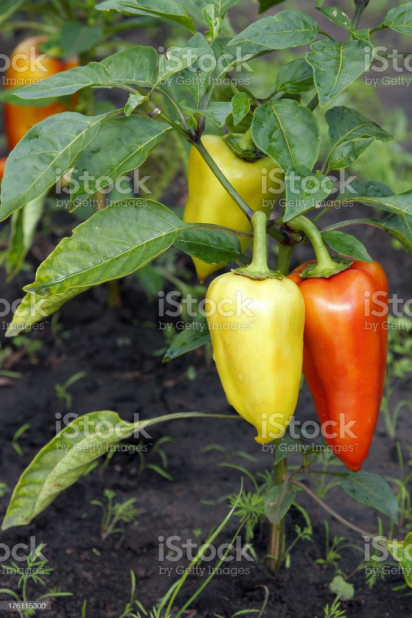 Bell Peppers: Yellow and Red royalty-free stock photo