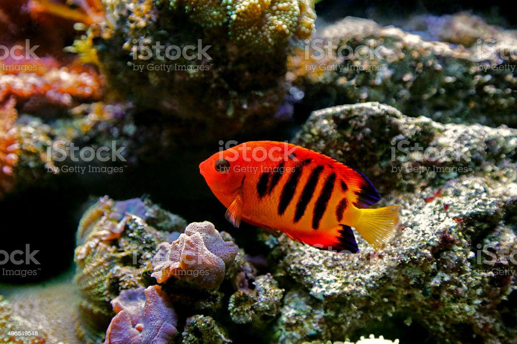 Bellezza fiammeggiante dei coralli (Centropyge Loriculus) royalty-free stock photo