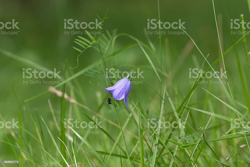 Bellflower and the fly royalty-free stock photo