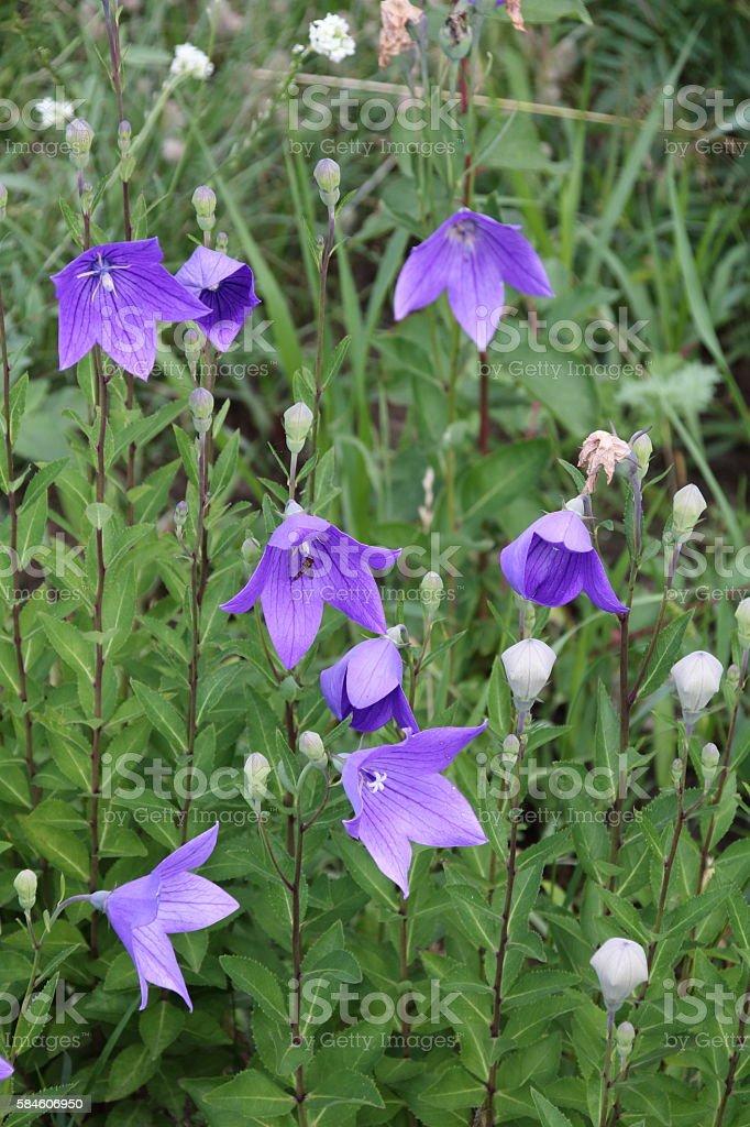 Bellflower Campanula carpatica stock photo
