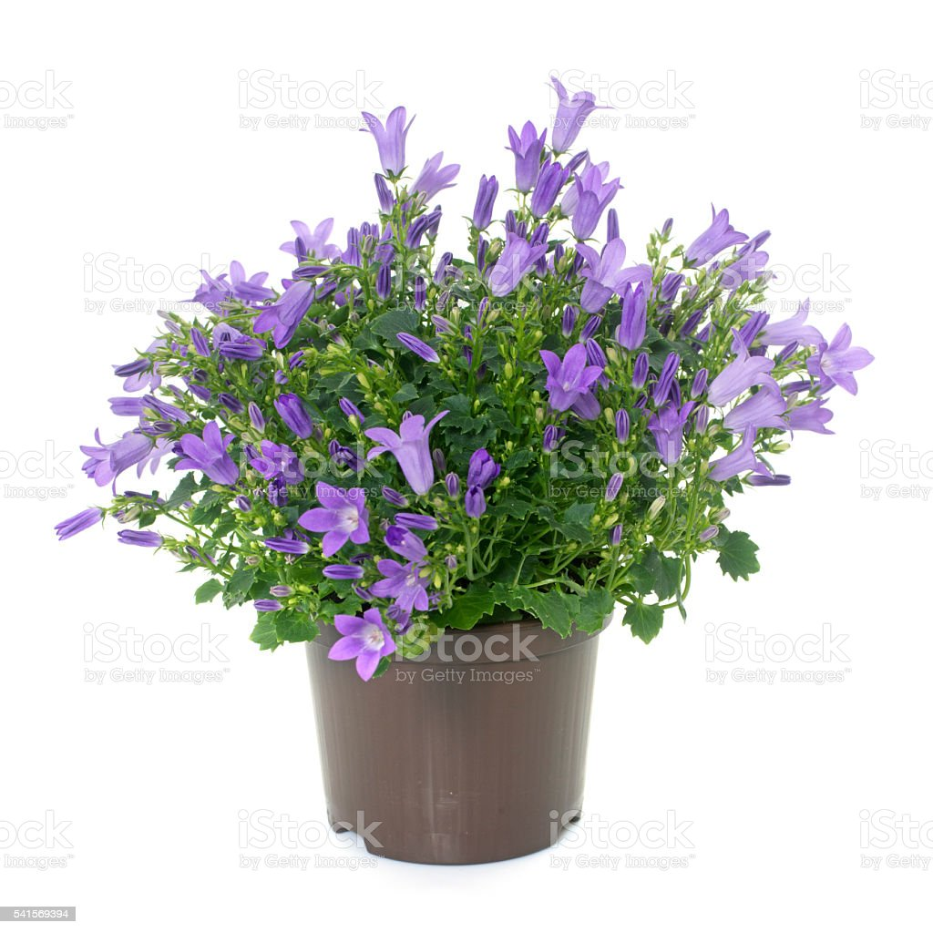 bellflower in studio stock photo
