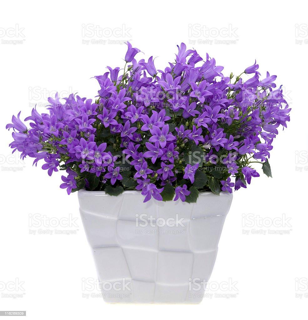 Bellflower royalty-free stock photo
