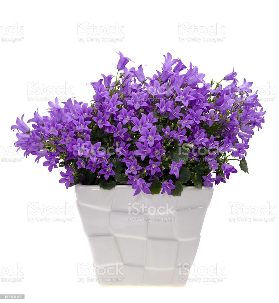 Bellflower (Campanula) stock photo