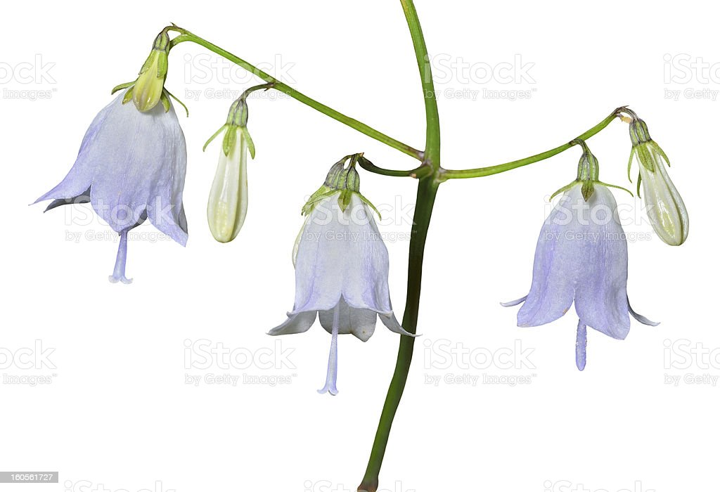Bellflower (Adenophora) royalty-free stock photo