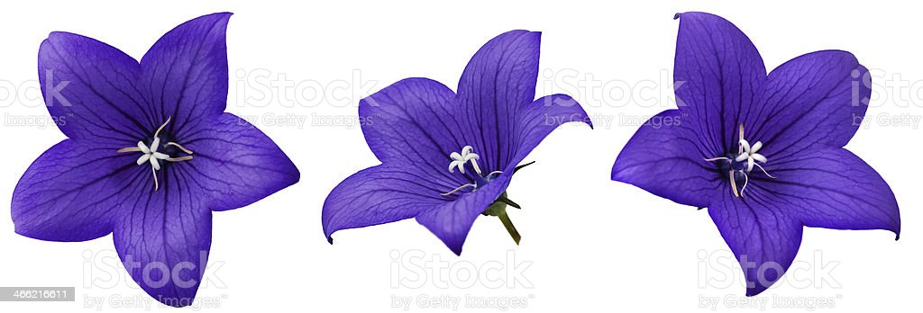 Bellflower stock photo