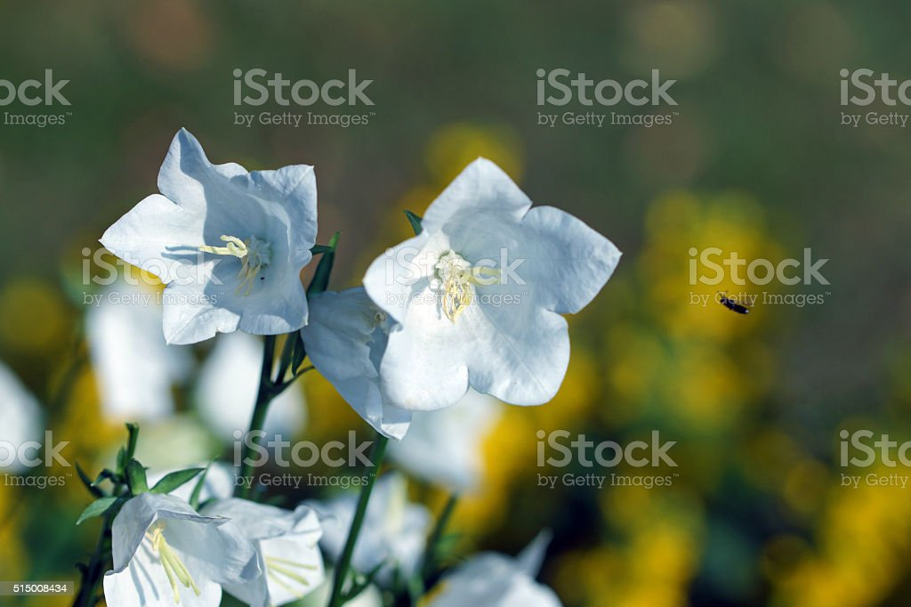 Bellflowers and dotted loosestrife stock photo