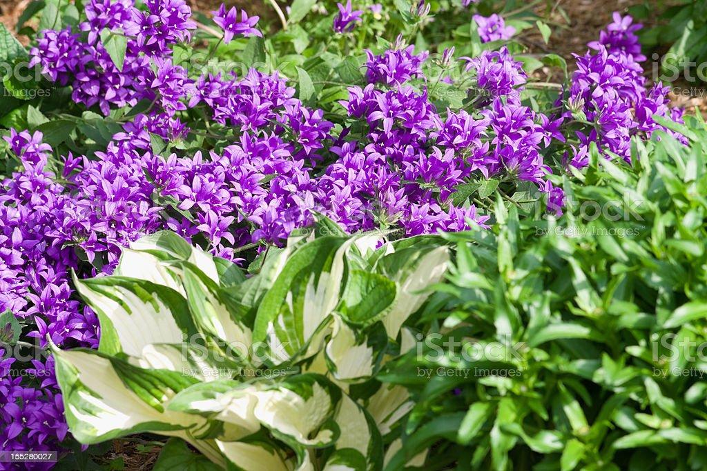 Bellflowers and Hostas stock photo