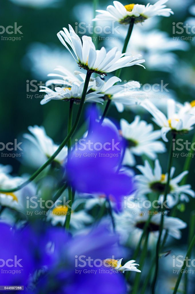Bellflowers and marguerites stock photo