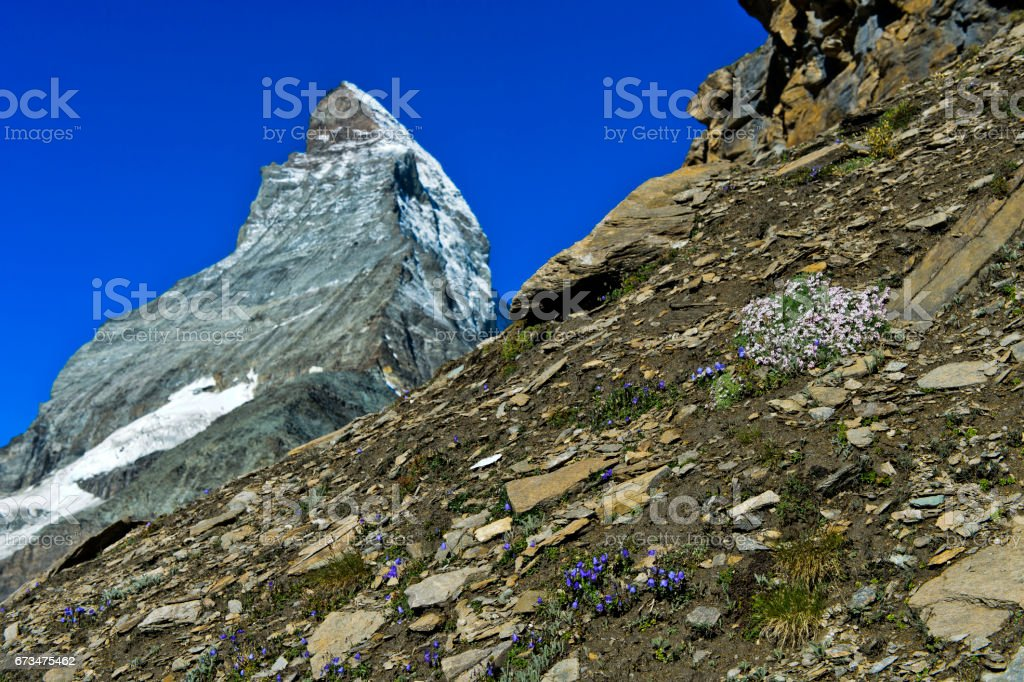 Bellflowers and Saxifraga flowers in front of the Matterhorn peak stock photo