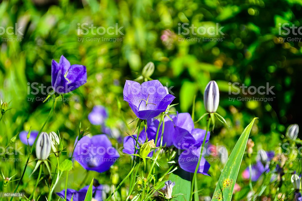 Bellflowers Campanula carpatica in the meadow in summer sunny day stock photo