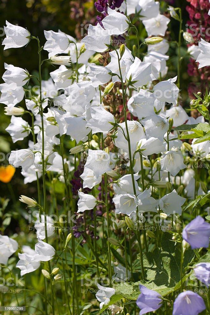 Bellflowers ,Campanula in Garden royalty-free stock photo