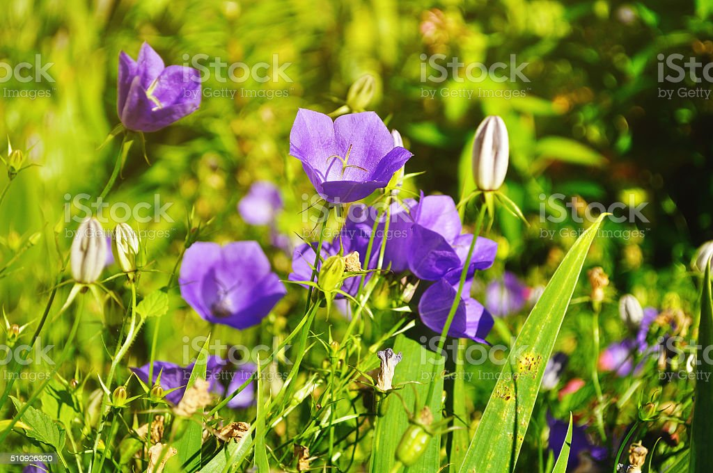 Bellflowers (Campanula) in the meadow in summer sunny day stock photo