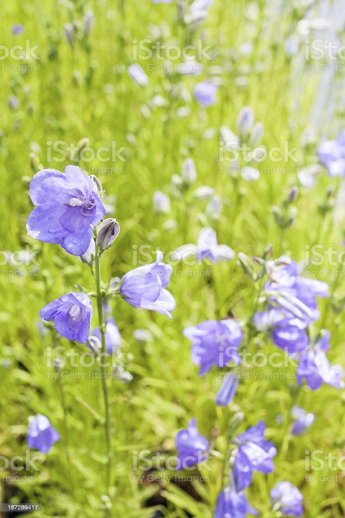 Bellflowers royalty-free stock photo