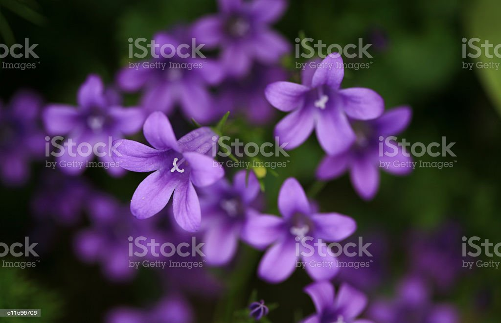Bellflowers (Campanula) stock photo