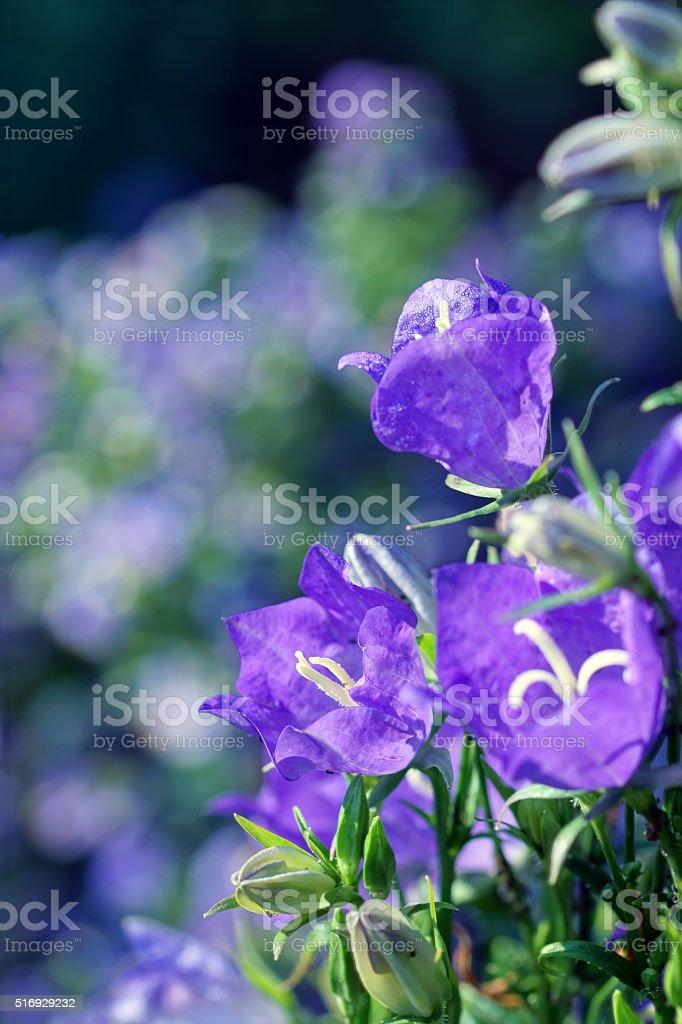 Bellflowers stock photo