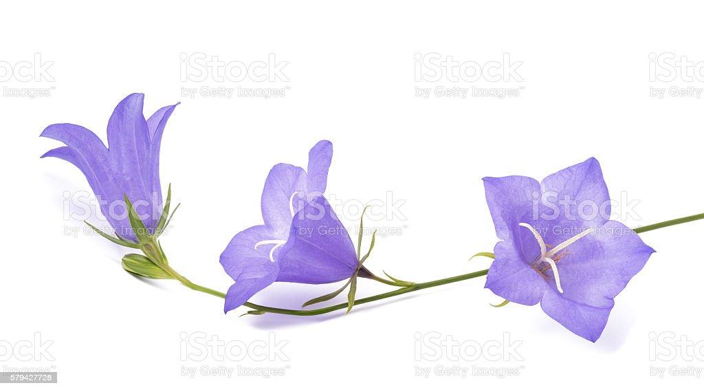 Bellflowers ( Campanula rotundifolia ) stock photo