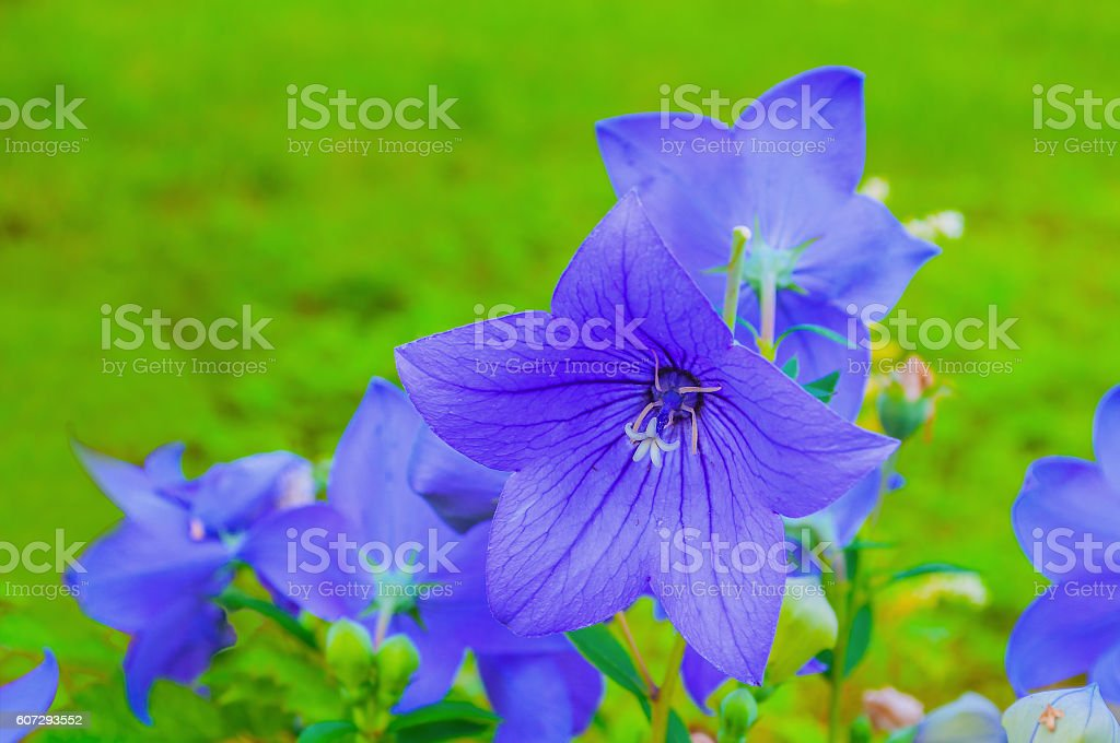 Bellflowers - Platycodon grandiflorus - at the flowerbed stock photo