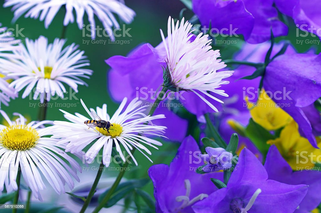 Bellflowers, summer asters and dotted loosestrife stock photo