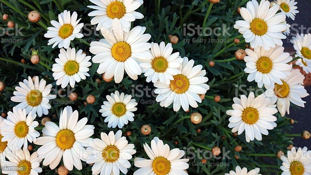 Bellis perennis or common daisy stock photo