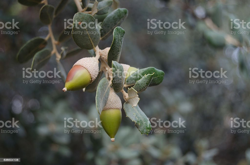 bellotas en el árbol stock photo