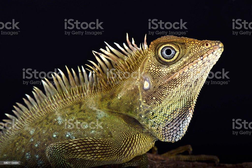 Bell's angle head lizard (Gonocephalus bellii) stock photo