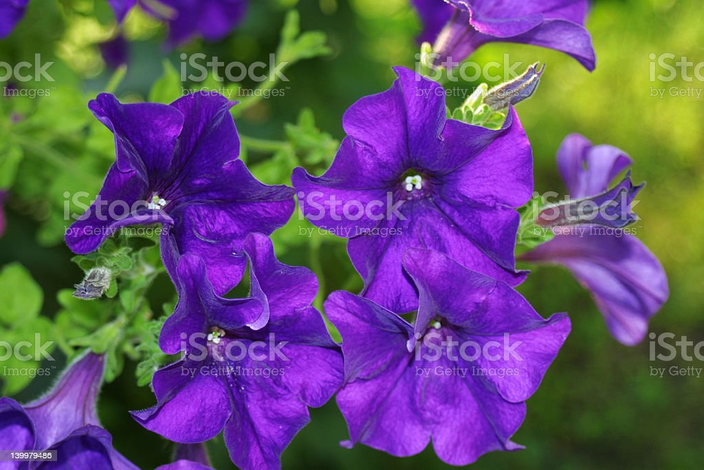 bells of flowers royalty-free stock photo
