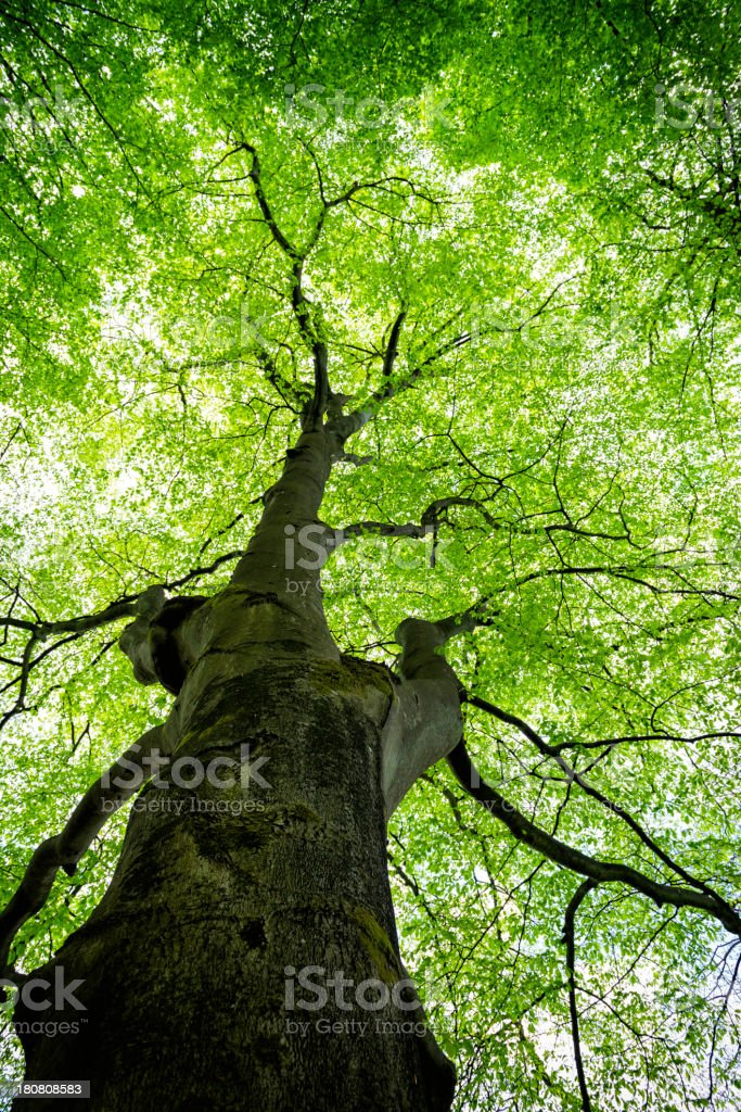 Below a Large Beech Tree royalty-free stock photo